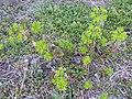 Euphorbia helioscopia 01.jpg