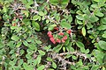 Euphorbia milii 31zz.jpg