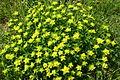 Euphorbia verrucosa (Warzen-Wolfsmilch) IMG 7910.JPG