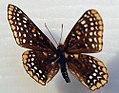 Euphydryas phaeton 4zz.jpg
