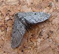 Eupithecia indigata - Flickr - gailhampshire.jpg