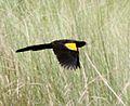Euplectes hartlaubi, Cuito-rivier, Birding Weto, a.jpg