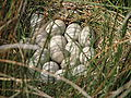 Eurasian Coot nest and eggs.JPG