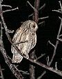 Eurasian Scops-owl (Otus scops) (38741153305).jpg