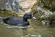 Eurasian common scoter.jpg