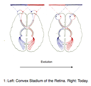 Evolution of the opposed cerebral hemisphere control - During evolution existed a convex stadium of the retina.