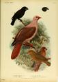 Extinctbirds1907 P3 Chaunoproctus ferreorostris0285.png