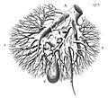 "F. Glisson, plate II,""Anatomia hepatis"" Wellcome L0013987.jpg"