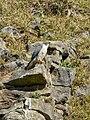 Falco peregrinus -England-8.jpg