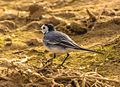 Farm land in albasrah iraq birds 03.jpg