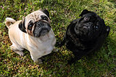 A fawn pug and a black pug looking up.