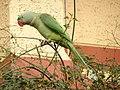 Female Alexandrine Parakeet 2.jpg
