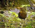 Female blackbird (17975338044).jpg