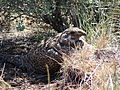 Female greater sage-grouse (15446315806).jpg