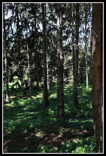 File:Fenyőerdő - panoramio.jpg