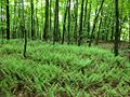 Ferns in the woods (8946122486).jpg