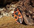Feuerwanze (Pyrrhocoris apterus) jh01.jpg