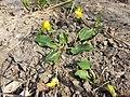 Ficaria calthifolia sl44.jpg
