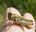 Field Grasshopper (14666213960).jpg