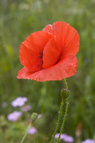 File:Field poppy (Papaver rhoeas) in meadow.jpg