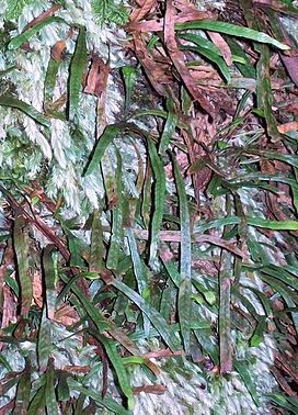 Finger Fern Grammitis billardierei - Mt Imlay.jpg