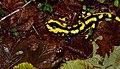Fire Salamander (Salamandra salamandra) (36148192360).jpg