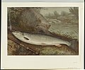 Fish LCCN2003654029.jpg