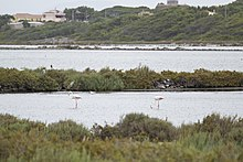 Flamingoes at Carloforte salina - panoramio.jpg