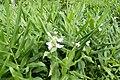 Fleurs blanches à São Tomé (1).jpg