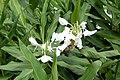 Fleurs blanches à São Tomé (3).jpg