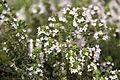 Fleurs de thym.JPG