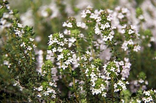 Fleurs de thym
