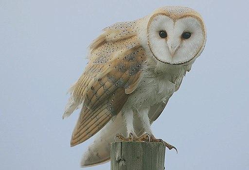 Flickr - Rainbirder - Barn Owl (Tyto alba)
