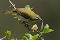 Flickr - Rainbirder - Ceylon White-eye (Zosterops ceylonensis).jpg