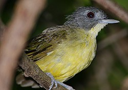 Flickr - Rainbirder - Grey-headed Bristlebill (Bleda canicapilla).jpg