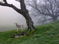 Flickr - don macauley - A lamb in the mists.png