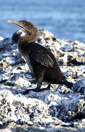 Flightless cormorant (Phalacrocorax harrisi) -Isabela.jpg