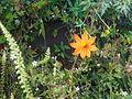 Flor naranja en campo de flores blancas.JPG