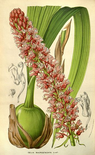 Coelia macrostachya - 1853 illustration from Flore des serres et des jardins de l'Europe