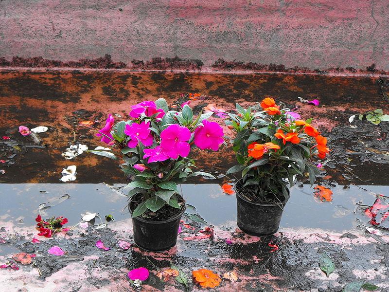 File:Flores en el canal de Xochimilco.JPG