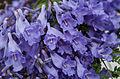 Flower of Jacaranda cuspidifolia.jpg