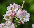 Flowers of Malus domestica (25).jpg