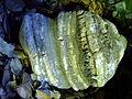 Fomitopsis officinalis.JPG