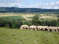 Fontanes (Lozère, Fr), moutons sur le haut plateau.JPG