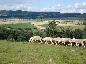 Fontanes (Lozère, Fr), sheep on the mountain m...