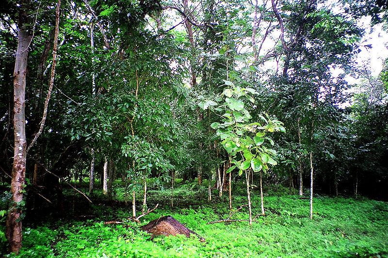 File:Forest of Sai Yok National Park.JPG