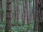 https://upload.wikimedia.org/wikipedia/commons/thumb/9/98/Forest_on_San_Juan_Island.jpg/150px-Forest_on_San_Juan_Island.jpg
