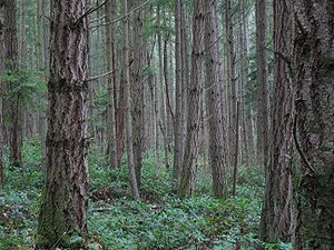 Certified wood - A managed Forest on San Juan Island in Washington (U.S. state).