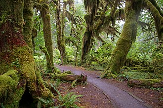 Hoh River - Trail in the Hoh Rain Forest