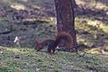 Formby red squirrel forest 4.jpg